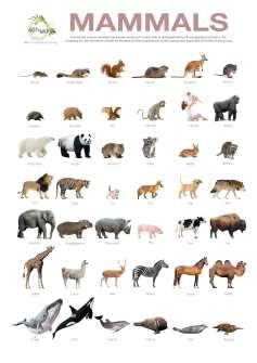 Mammals-Poster-A4-By-www.Greyandgold.blog